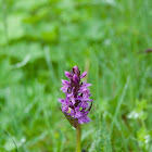 Heath Spotted Orchid -  Geflecktes Knabenkraut