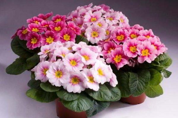 Можно ли пересаживать цветущие комнатные растения?