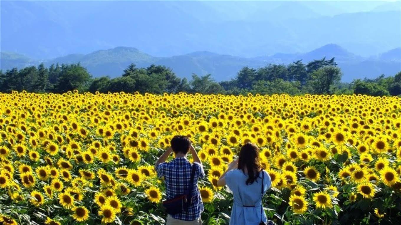 Vào mùa hoa hướng dương nở, nhiều du khách đã tìm đến huyện Nghĩa Đàn chiêm ngưỡng sắc hoa