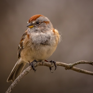 Sparrow Early Spring 2018 -9631.jpg