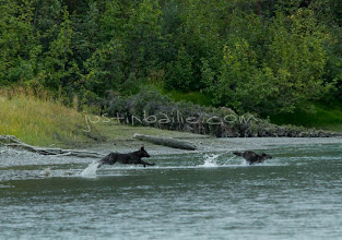 """Photo: Grey wolf pups launch into river as seen while on a 10 day raft trip down the Tashenshini River. The """"Tat"""" flows out of Yukon, CA, through British Columbia and empties into Glacier Bay National Park in Alaska, US."""