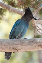 Photo: Steller's Jay (Diademhäher); Yosemite, CAL