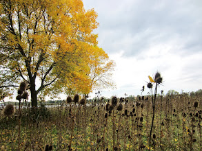 Photo: Yellow leaves and brown thistles at Eastwood Park in Dayton, Ohio.