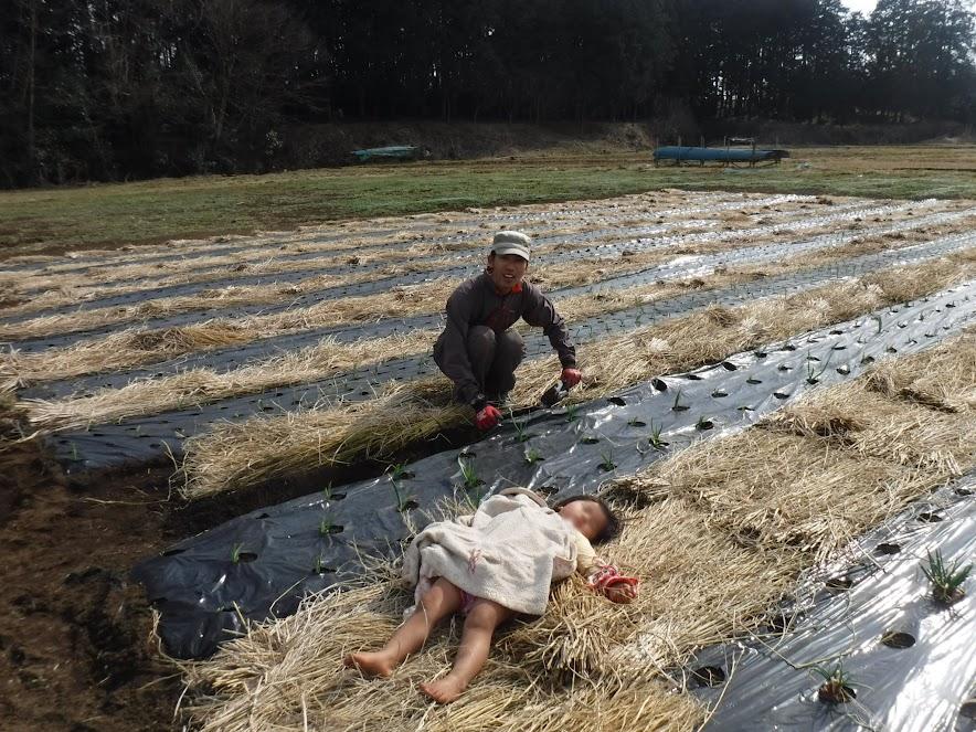 3月3日、まだ苗は小さいです。手伝いに来てくれた加藤さんにマルチがはがれたところを直してもらいました。そしてわらの上で寝る娘。