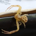Unknown Spider?