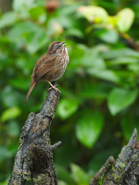 Photo: Song Sparrow is a Sign of spring, Vancouver, Canada