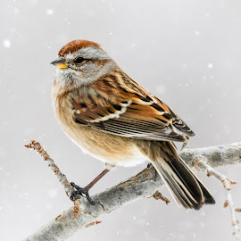 House Sparrow 7800 by Carl Albro - Animals Birds ( old world sparrows, house sparrow )