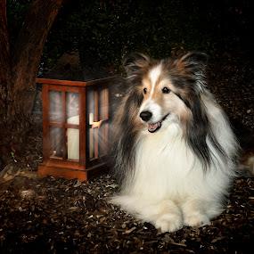 A Light in the Darkness by Pat Eisenberger - Digital Art Animals ( collie, shelty, miniature collie, pet, digital manipulation, shetland sheepdog, animaal, dog, sheltie,  )