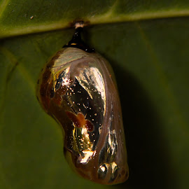 caterpillar home by Prakash Tantry - Abstract Macro ( beautiful, nature, golden, shiny, colorful )