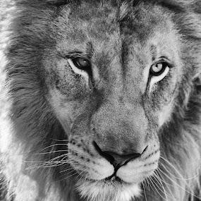 Lion by Susan Pretorius - Black & White Animals (  )