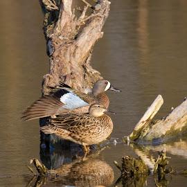 by Scott Stolsenberg - Animals Birds ( glass farm, waterfowl, nature, blue-winged teals, yellow springs, birds, ducks, water, park,  )