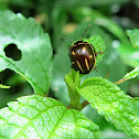 Escarabajo de las hojas / Leaf beetle