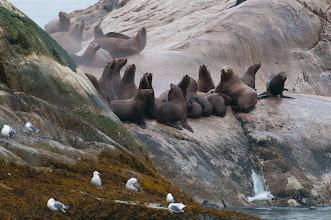 Photo: Sea lions huddle, South Marble Island; Glacier Bay NP