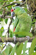 Photo: Red-lored Parrot
