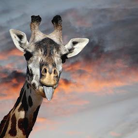 Goofy Giraffe by Darlene Lankford Honeycutt - Animals Other ( dl honeycutt, goofy, humorous, giraffes,  )