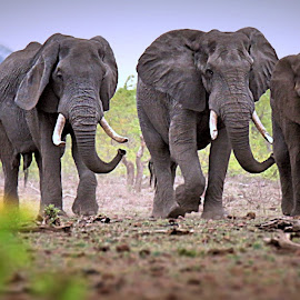 The Big Boys by Pieter J de Villiers - Animals Other
