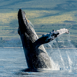 by Keith Sutherland - Uncategorized All Uncategorized ( humpback whale     maui )