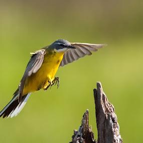 Landing by Pascal Bénard - Animals Birds ( pwcmovinganimals, western yellow wagtail, flock )