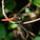 Orthetrum pruinosum 赤褐灰蜻