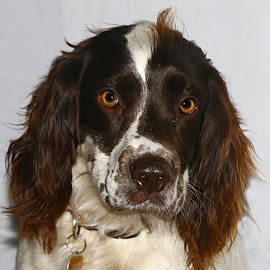 Max by Chrissie Barrow - Animals - Dogs Portraits ( fur, white, portrait, brown, dog, pet, springer spaniel )
