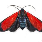 Red Tiger Moth