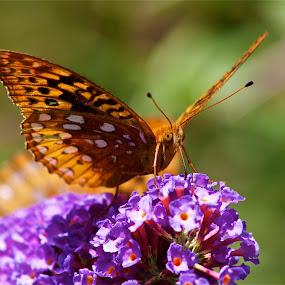 Butterfly flower by Jennifer Lamanca Kaufman - Novices Only Wildlife ( butterfly, purple, nature, monarch, green, flower )
