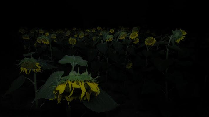 Sunflower... by night di Matteo Faliero