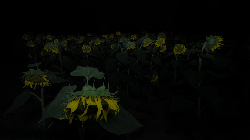 Sunflower... by night di Matteo Faliero