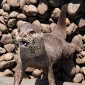 Otter by Tristan Wright - Animals Other Mammals ( otter, water animal, nature up close, mammal, animal,  )