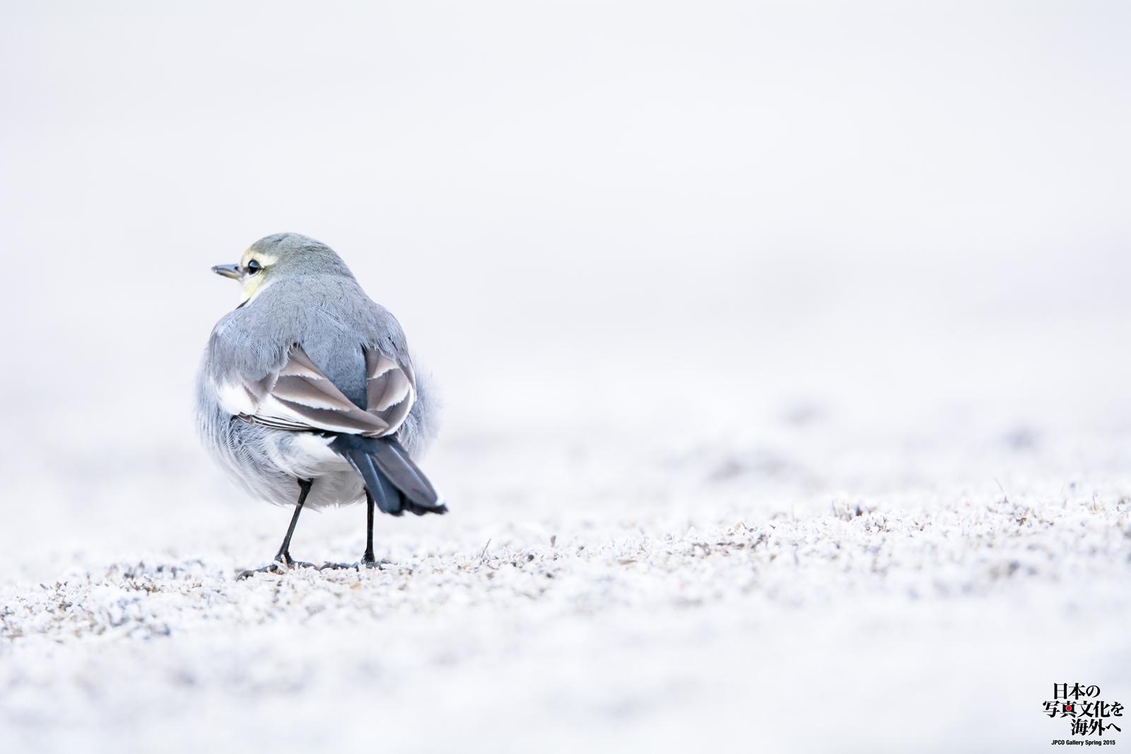 Photo: 白い季節 White season  色の無い季節 でも僕がいる そして君がいる 存在を色濃く感じる季節  White Wagtail. (ハクセキレイ)  #cooljapan #365cooljapanmay #birdphotography #birds #sigma #kawaii #JPCOGallerySpring2015 #日本の写真文化を海外へ  Nikon D7100 SIGMA 150-600mm F5-6.3 DG OS HSM Sports  [ Day282, February 18th ]  ★こちらの一枚は、 グループ写真展 『JPCO Gallery Spring 2015 / 日本の写真文化を海外へ』 の出展作品となります。  色のない季節だからこそ感じられる 存在と言う色濃さを ゆっくりと時間をかけて 言葉と合わせて感じていただけたら幸いです。  ・私の在廊予定日 21(土) : 15:00~19:00 22(日) : 13:00~16:00 (土日はトークイベントも開催され 自分も土曜日にトークさせていただきます。)  < http://islandgallery.jp/10839 >  小鳥の詩朗読 http://youtu.be/KQkaOGnZ8NY?list=PL2YtHGm0-R3qVsaqvQe9OYdJFCkI98wzF