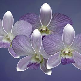 Blue Moon Hawaii Orchid by Joseph Vittek - Digital Art Things