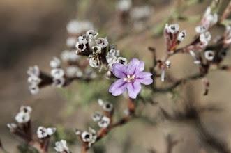 Photo: Flora sustrats salins: Limonium lucentinum (flor).