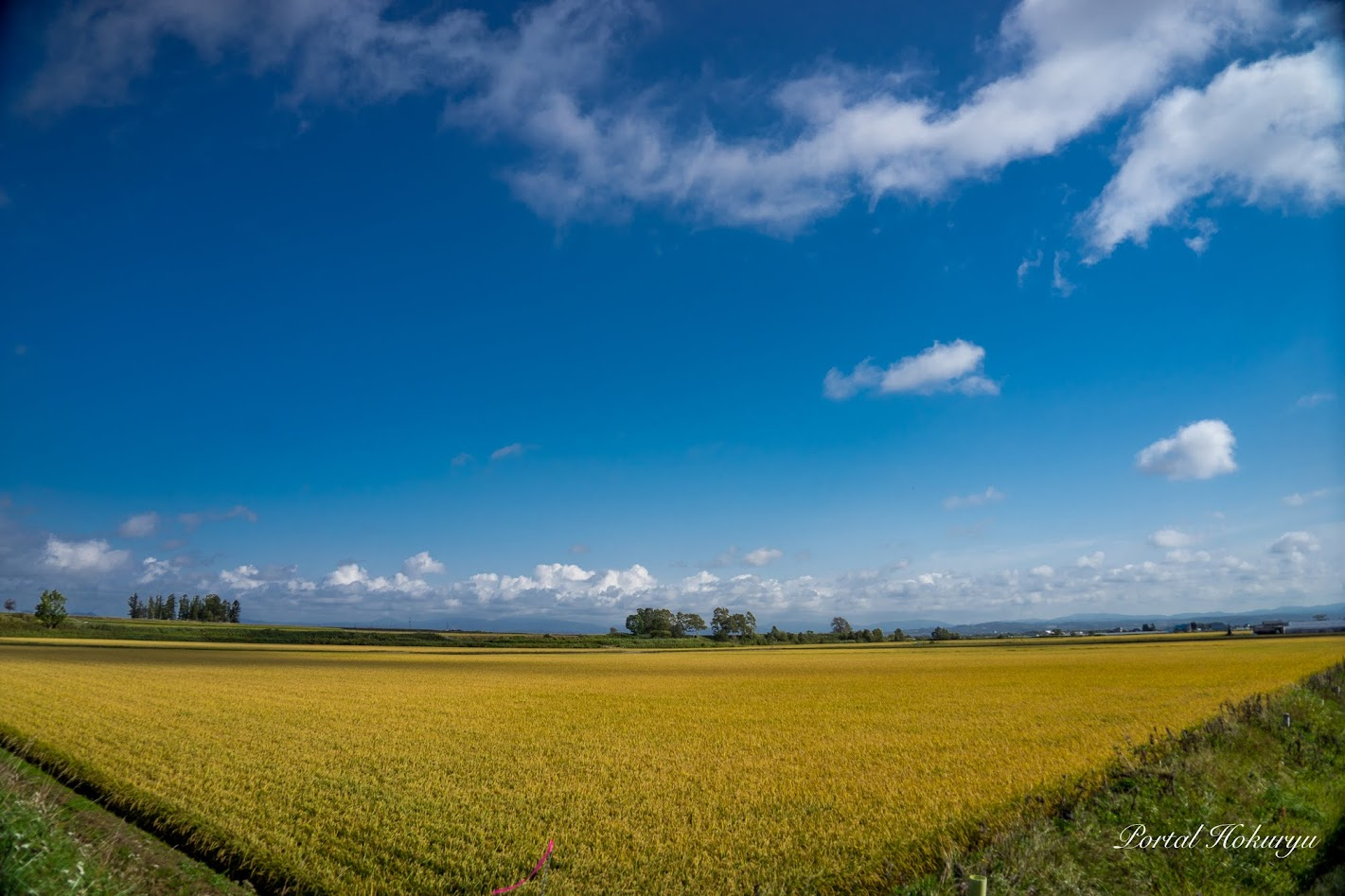 黄金色の圃場