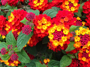Photo: Colourful Aguilas flowers