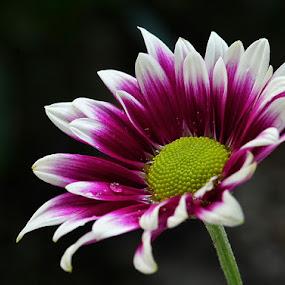 Seruni Flowers by Slamet Mardiyono - Flowers Single Flower
