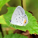 Eastern tailed-blue (female)