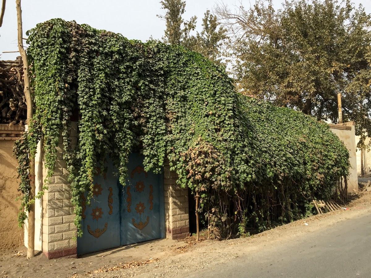 China. Xinjiang Turpan . Vines falling over the main entrance