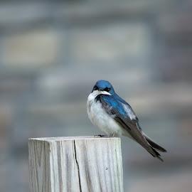 Tree Swallow by Jack Nevitt - Animals Birds ( blue, white, bird, isolated, tree swallow )