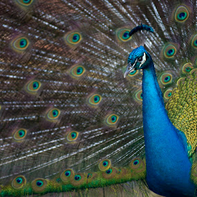Flaunting It by Jay Kleinrichert - Animals Birds