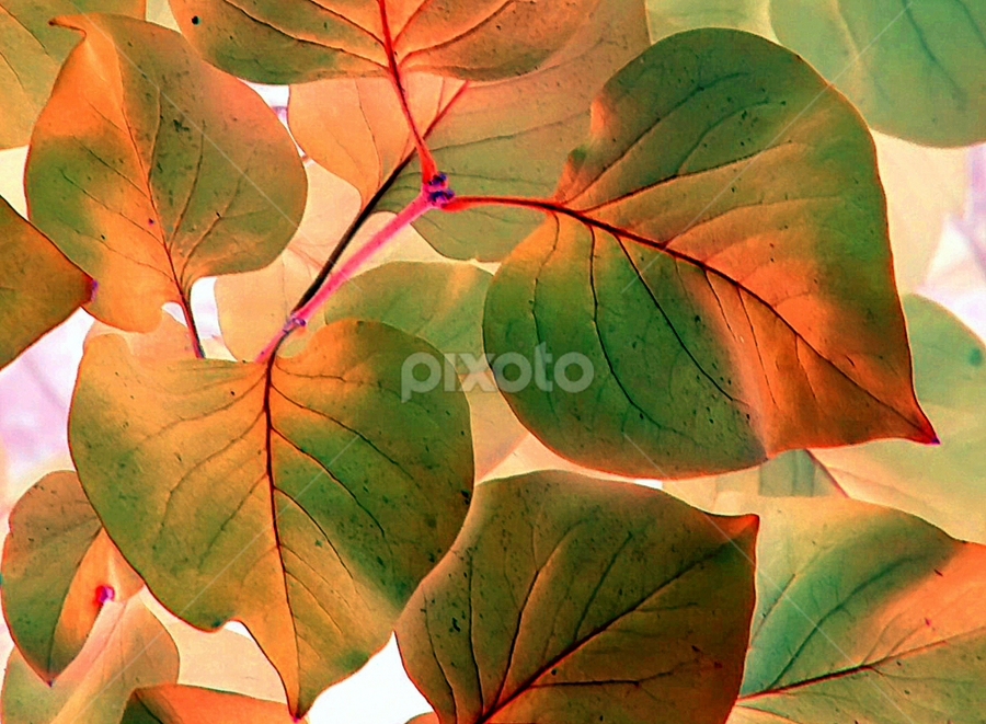Red Bud Leaves - IA by Tina Dare - Nature Up Close Leaves & Grasses ( orange, macro, close up, green, leaves, nature, redbud, up close, ia, peach, hearts,  )
