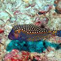 White-spotted boxfish (Male)