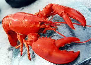 Photo: Live Maine One Lobsters!