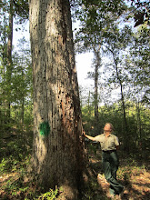 Photo: September took us to San Jacinto County, where Gretchen admired one of her favorites, a swamp chestnut oak (Quercus michauxii) that hadn't been measured since 1968!....