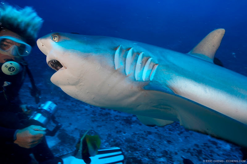 Photo: A gray reef shark with diver at Apataki pass. French Polynesia.