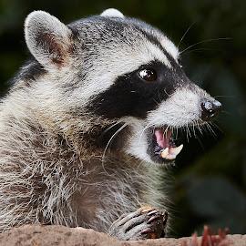 Raccoon 900~ by Raphael RaCcoon - Animals Other Mammals