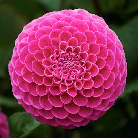 Dahlia 8770~ by Raphael RaCcoon - Flowers Single Flower