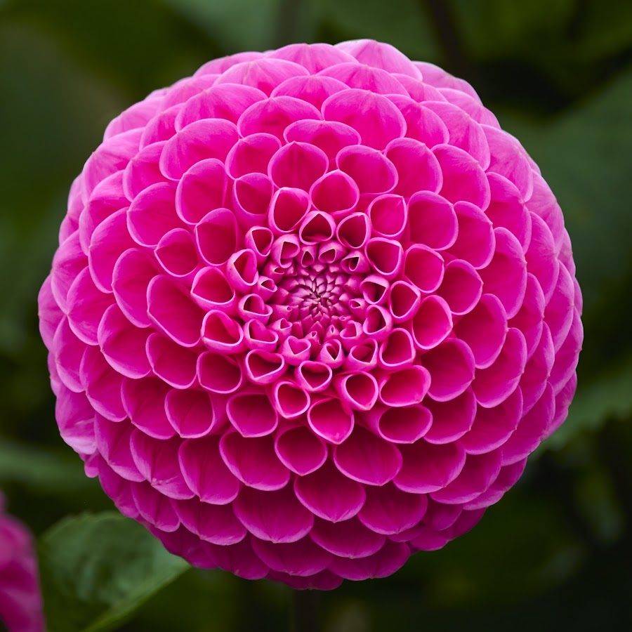 Dahlia 8770~ by Raphael RaCcoon - Flowers Single Flower
