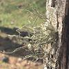 Bushy beard lichen