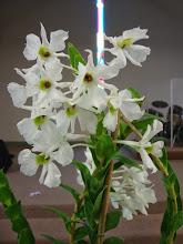 Photo: Dendrobium sanderae var luzonica