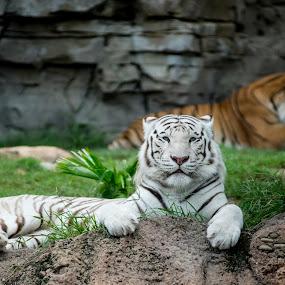by Jay Kleinrichert - Animals Lions, Tigers & Big Cats ( jkthreee )
